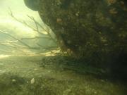 琉球列島系淡水魚(河口域含む)