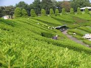Tea patch