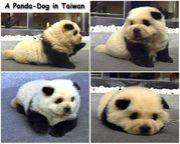 -Panda-Dogを愛でる会-