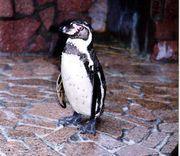 ペンギンなりたい!!