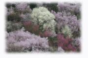 花見山(福島県福島市)