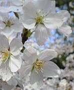 唐木田の桜をこよなく愛でる