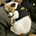 麻薬捜査犬 ミッジ