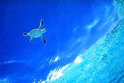 Sirena Dolphin's