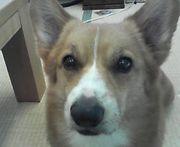 コミュ犬(コミュニティ犬索)