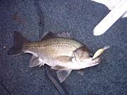 オーストラリアの魚