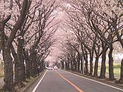 お花見大好き【福岡夜桜組】