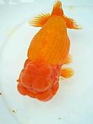 ★☆金魚の宿☆★