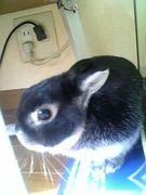 ウサギコンテスト