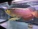北海道のアロワナ、古代魚マニア