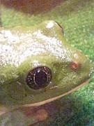 メキシコフトアマガエル