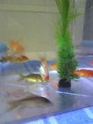 金魚の成長を見守る会