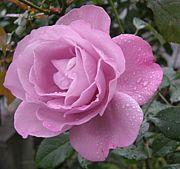 (個人的)バラ栽培方法研究
