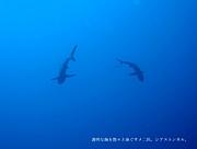 海水浴に行くとサメに怯える
