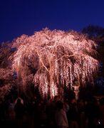 桜の樹の下には死体が