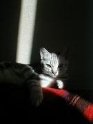 アメショだけが猫!
