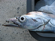 ボブホワイティと太刀魚を釣ろう