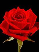 B:Lily-Rose ファンの集い