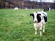 牛をこよなく愛す。