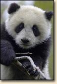 パンダを愛でる