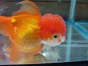 I LOVE 金魚*(・・))<