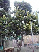 塚越柿の木会