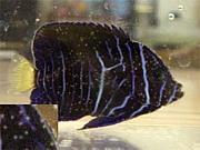 アクアリュウム・海水魚の病気