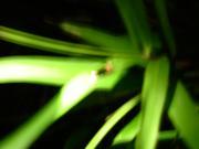 ほたる(firefly)