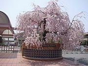 常陽水桜会