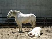 白馬が王子を踏み潰す