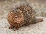 Mongoose(マングース)