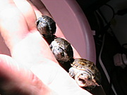 亀繁殖研究会