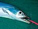 関西  タチウオ釣り