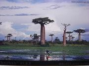 baobab[バオバブ]