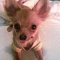 大阪西区の小型犬