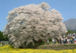 sakura・サクラ桜