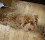 うちの犬のベル(♀)