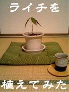 ライチを植えてみた