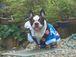 frenchbulldog牛柄パイドの会
