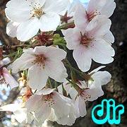 [dir]花見・桜