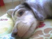 犬のアレルギー、病気