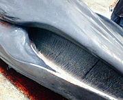 海洋哺乳類の汚染について考える