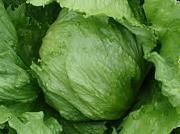 レタス/Lettuce