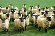 羊さんようこそ