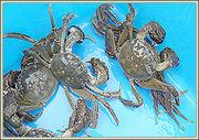 上海蟹の会
