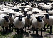 緬羊ファンクラブ