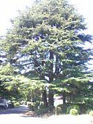 巨木の出会い