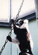 【狐】エリマキキツネザル【猿】