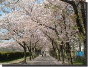 『桜の時期』が好き♪