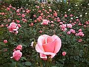 薔薇は生きてる/山川彌千枝